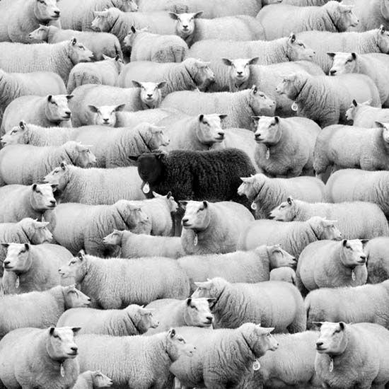 black sheep in flock of white sheep