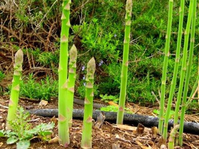 asparagus102517