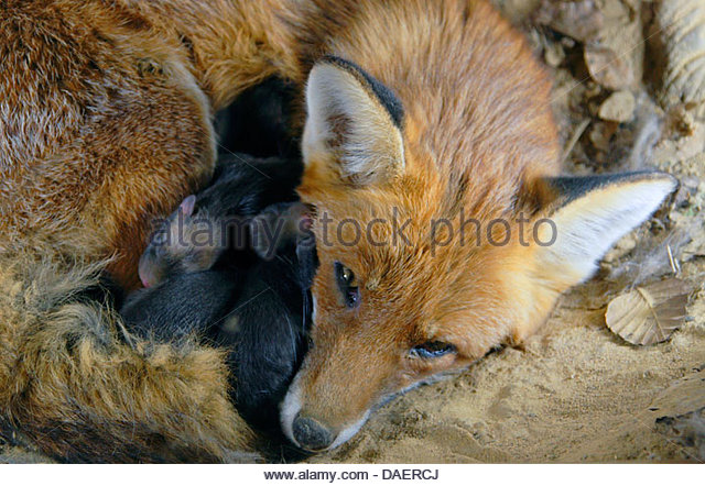 vixen with kits