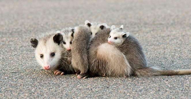 cute_opossum_THUMB