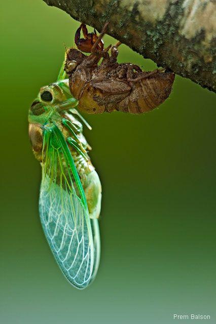 cicada shed