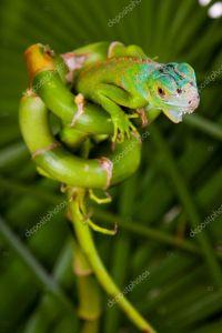 iguana on bamboo