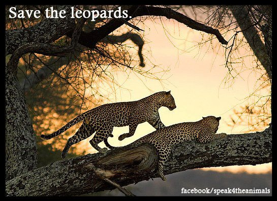 save-the-leopards