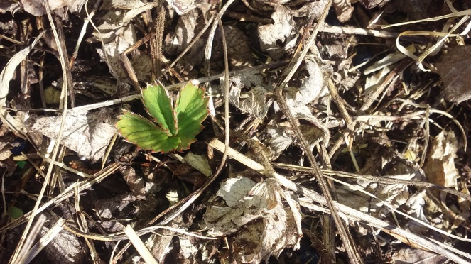 infant strawberry plant