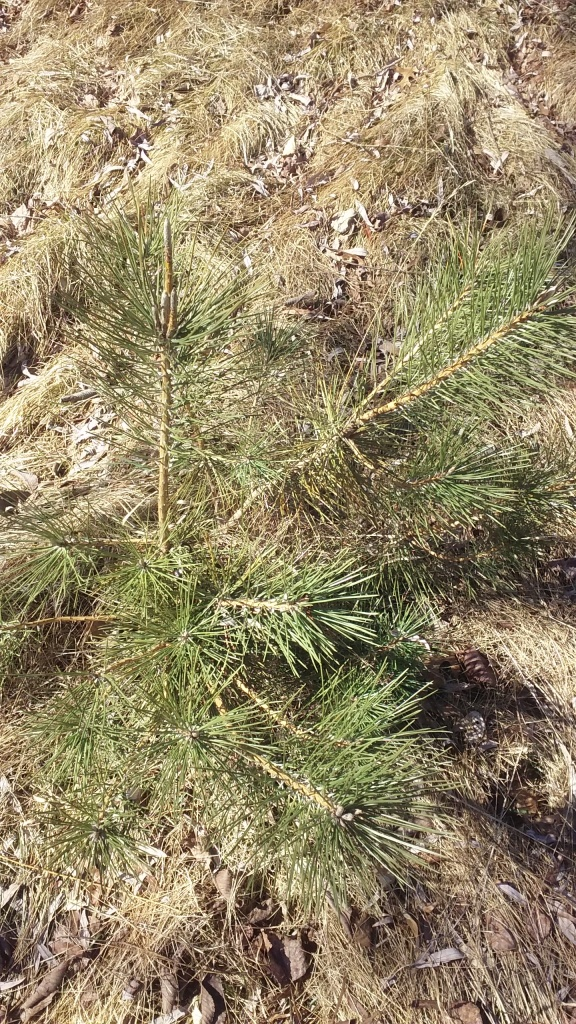 red pine 2