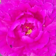 peony deep pink