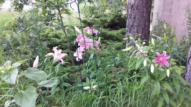 lilies 072919