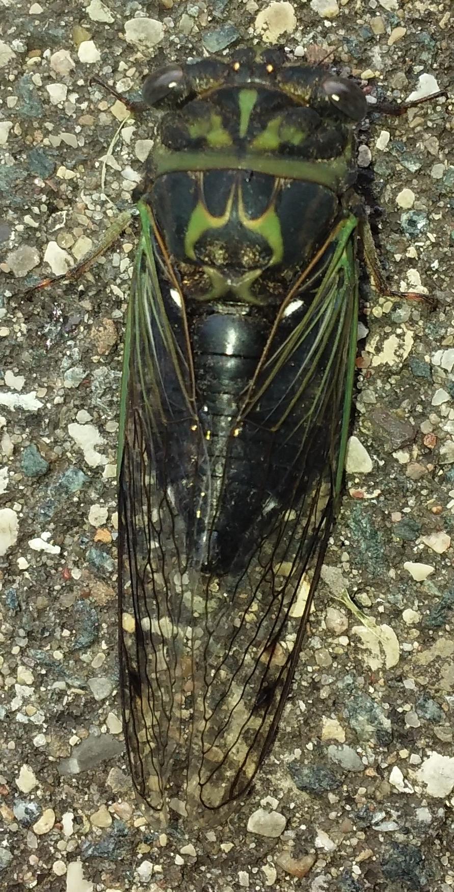 cicada on park path 090919