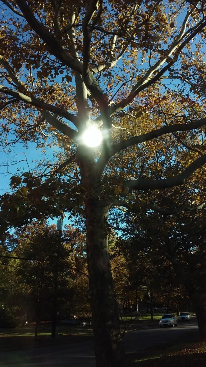 Sycamore sun