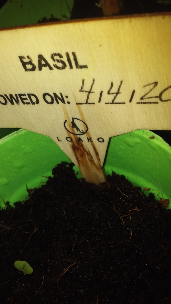 basil seedling scaled down