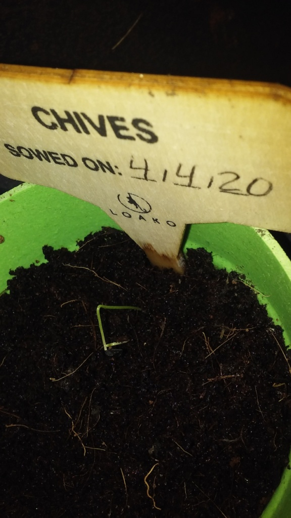 chives seedling scaled down