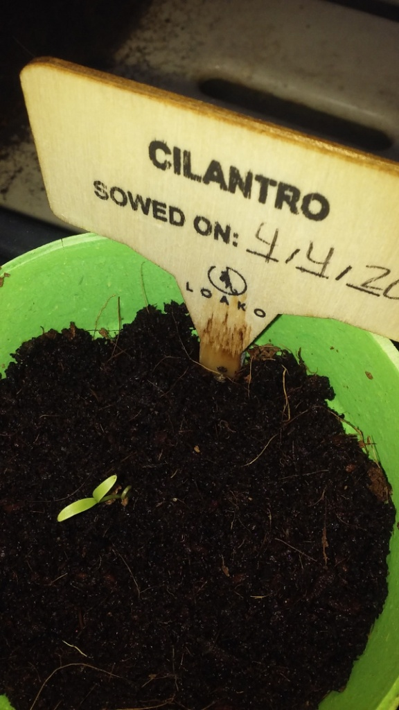 cilantro seedling scaled down