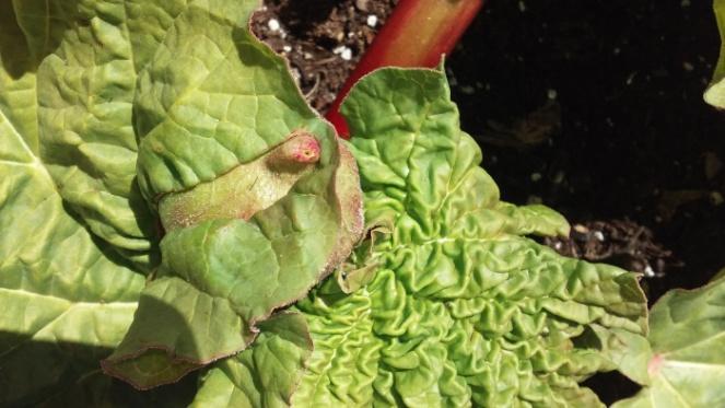 rhubarb scaled down