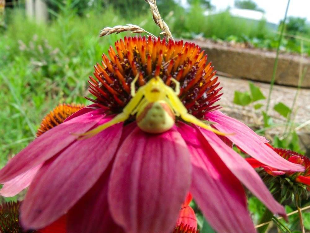 crab spider on echinacea 071115