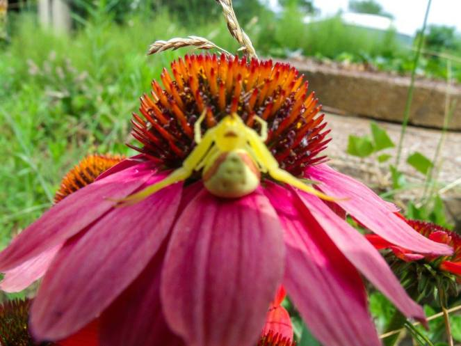 crab spider on echinacea 071115