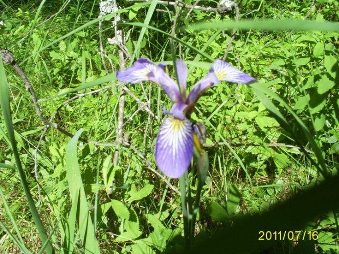 wild iris at whitefish bay 071611