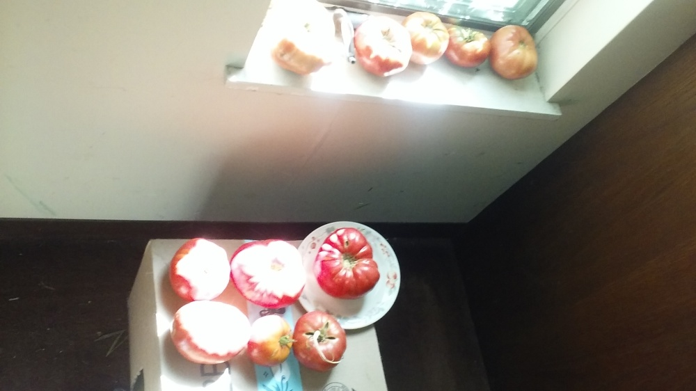 tomatoes ripening 082920