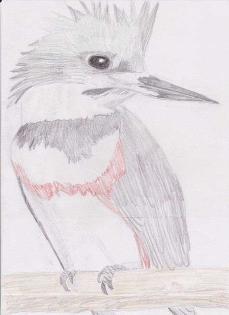 belted kingfisher drawing _ top half_scaled 030621