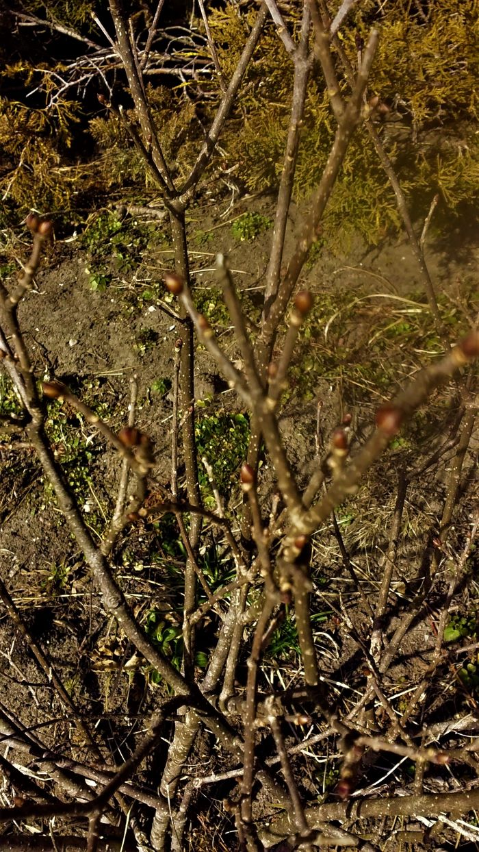 lilac bush resized 2 032121