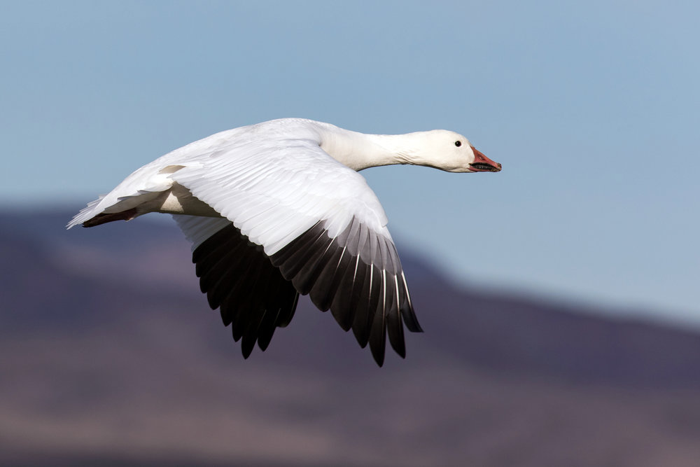 Snow Goose — Eastside Audubon Society