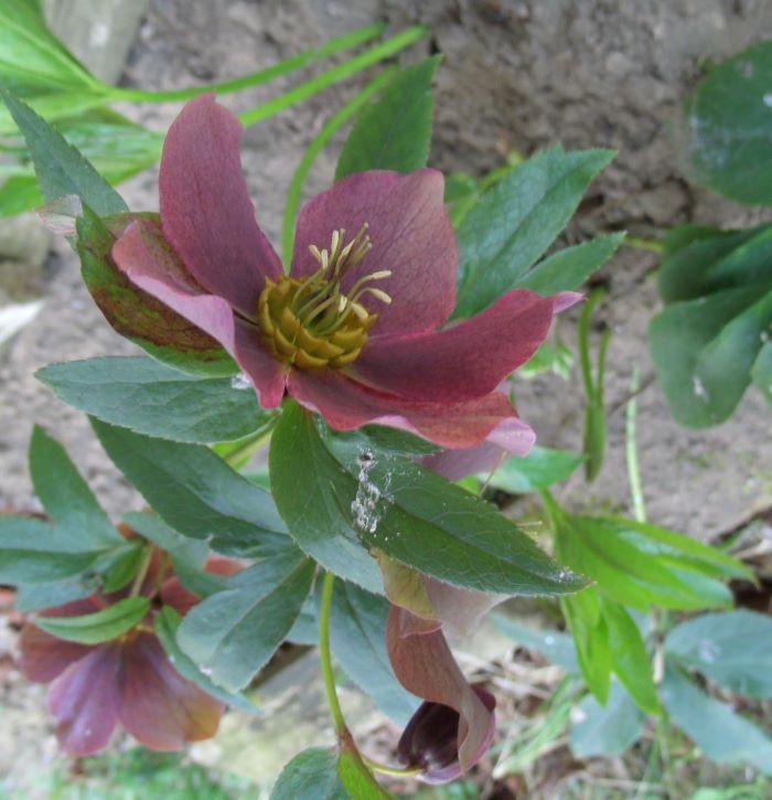 helleborus transplanted to side of house resized 042921