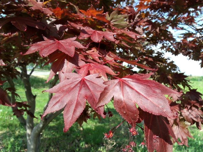 resized amur maple tree leaves 051621