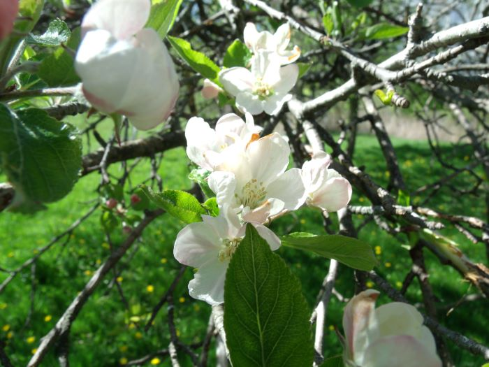 resized apple blossoms 051121
