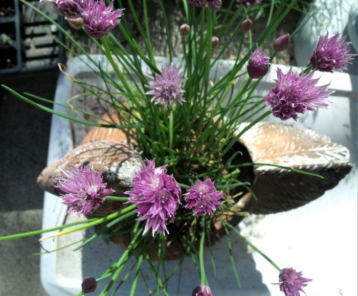 resized chives in bloom in hen 053021