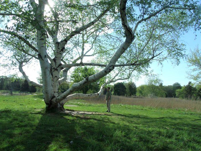 resized dan and giant birch tree 051621