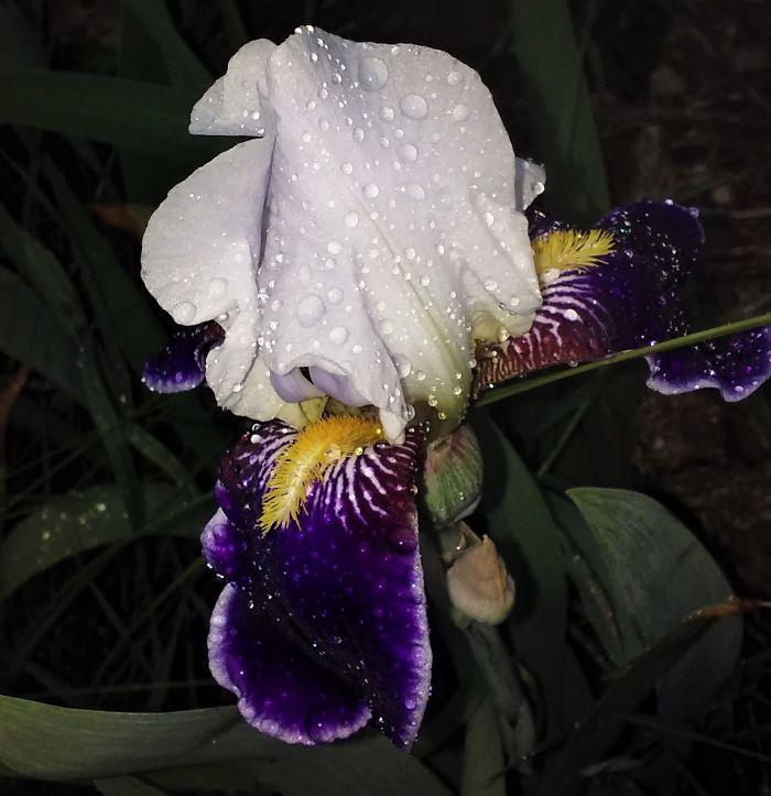 resized first iris in the rain 052721