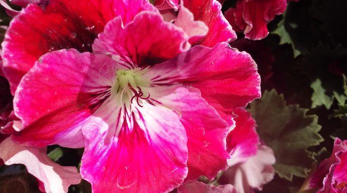 resized geranium blossom