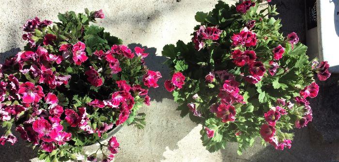 resized geraniums 051221