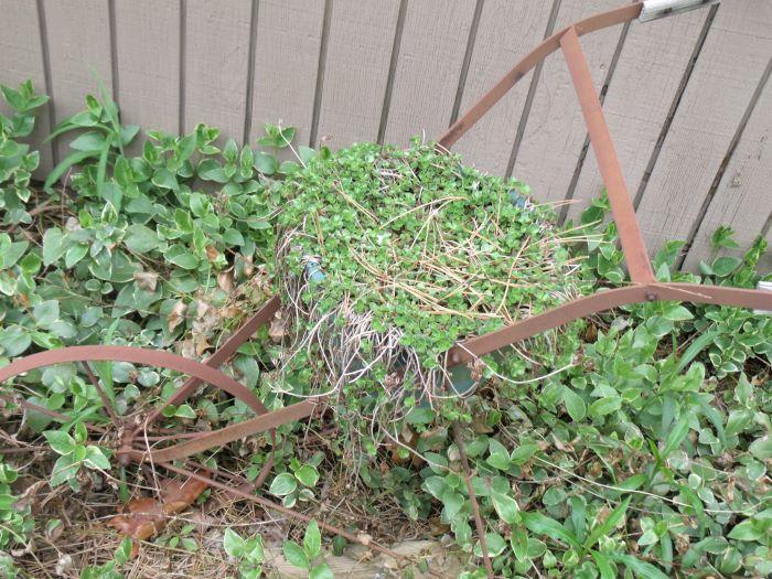 resized sedum in planter 050821