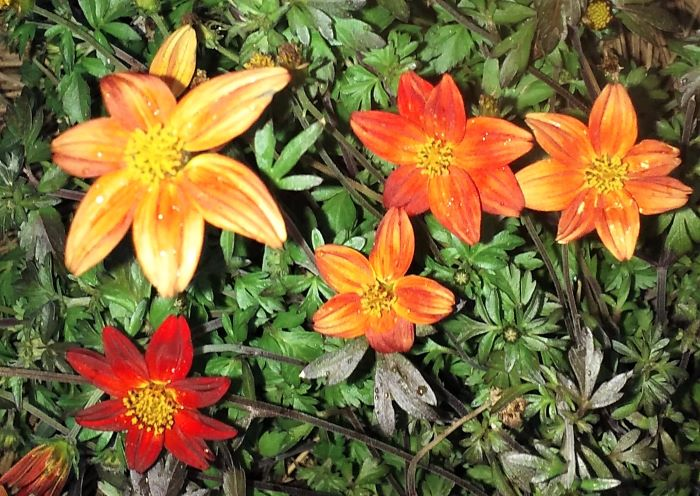 resized small orange blossoms 052721