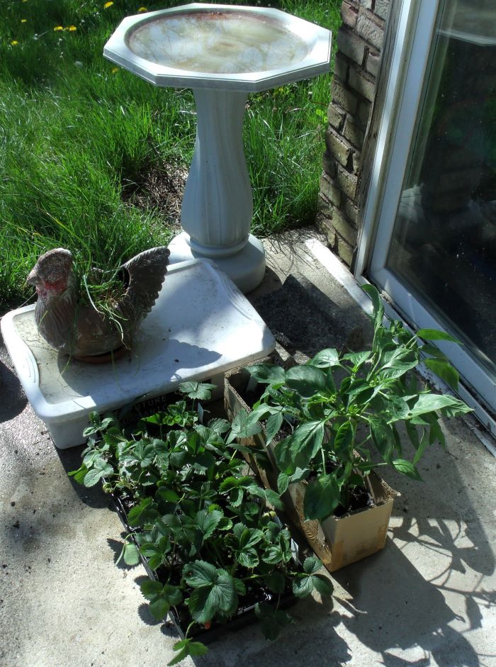 resized strawberry pepper plants and chives in hen 051121