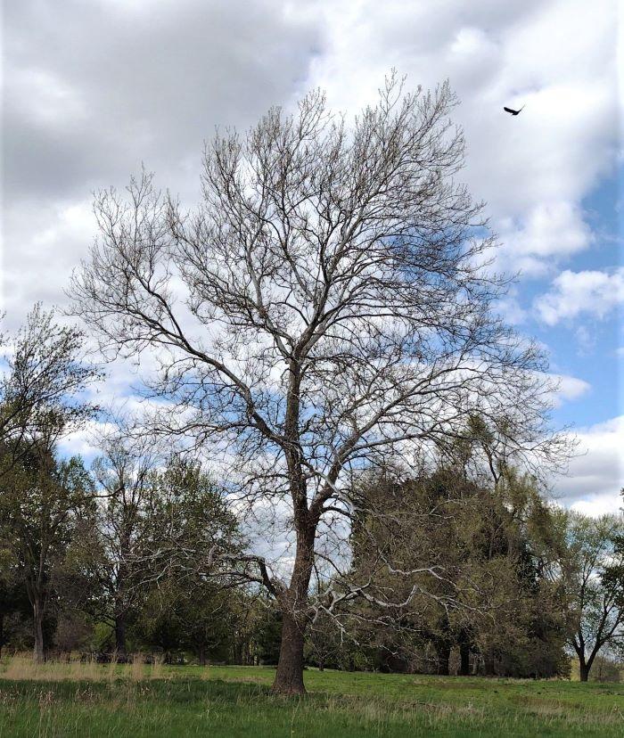 resized tree in blandford walking trail 050921