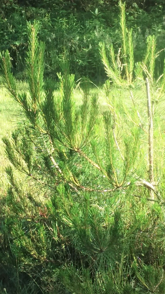 resized baby red pine 1 0621