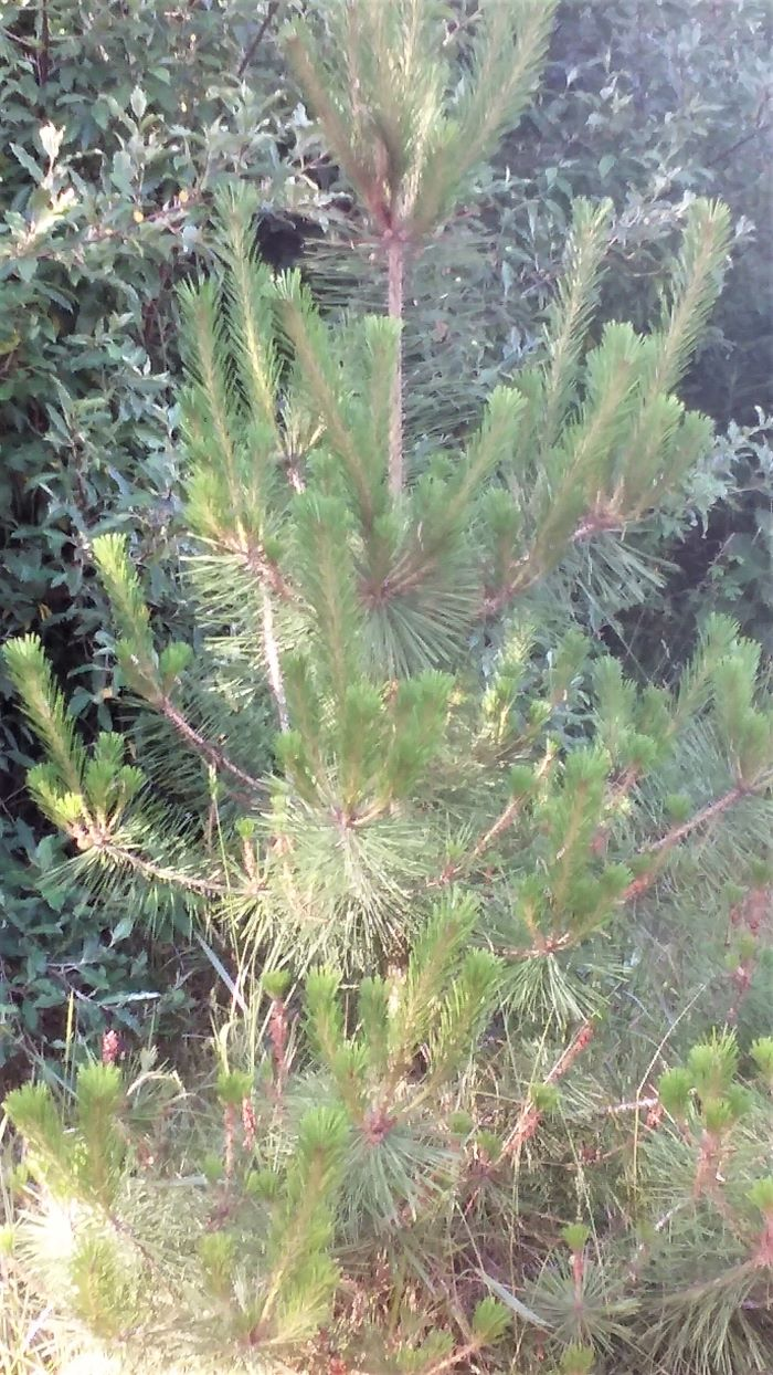 resized baby red pine 3 061821