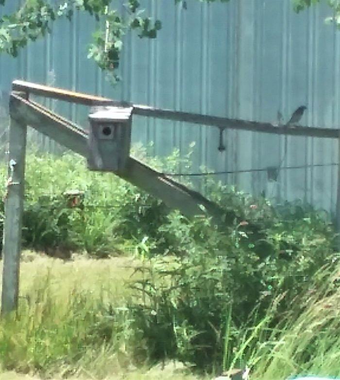 resized bluebird near nest 0621
