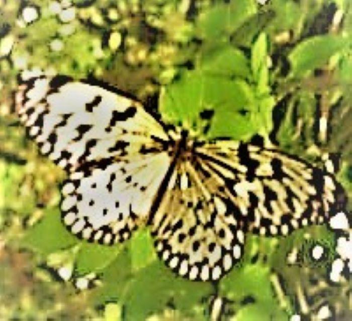 resized butterfly with zeke effect 063021