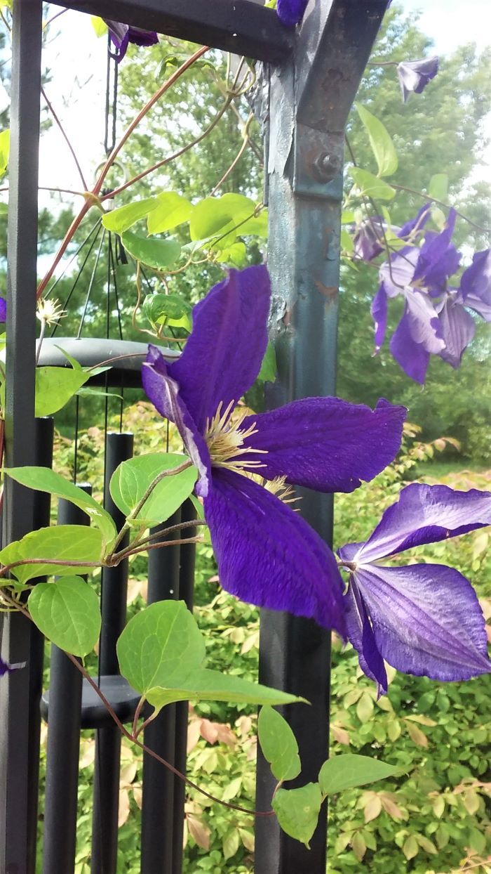resized clematis at labyrinth 1