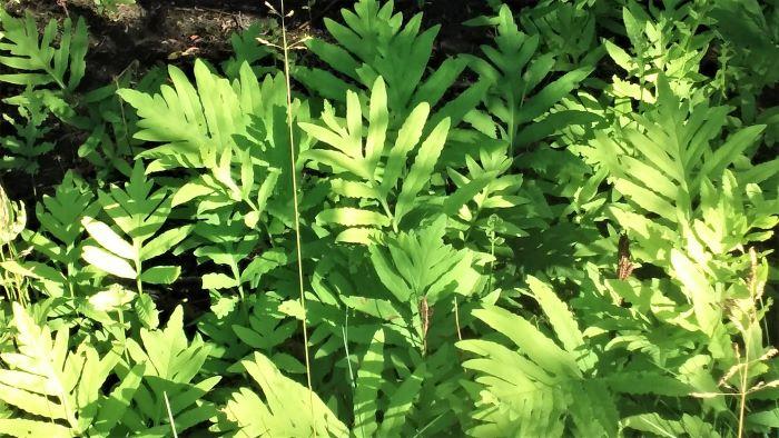 resized ferns 061821