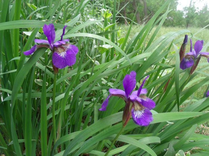 resized japanese iris