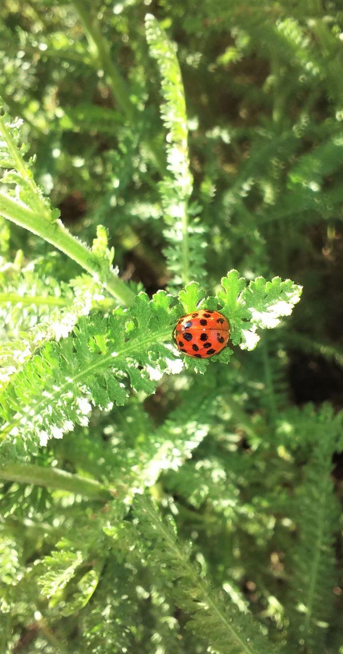 resized ladybug on astilbe 0621