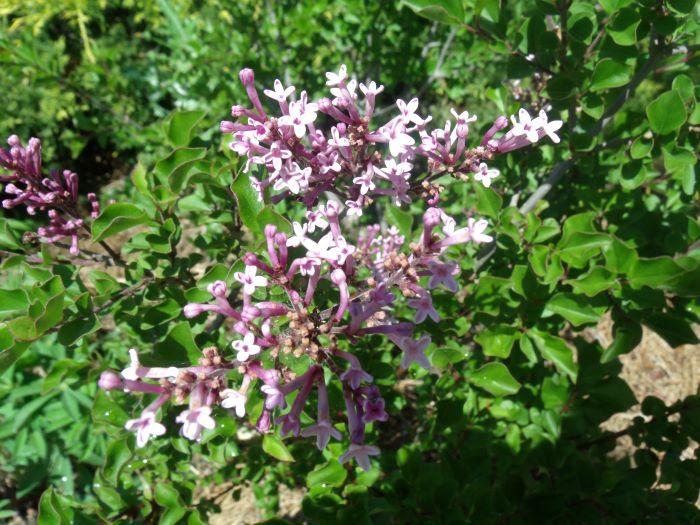 resized lilacs 060121