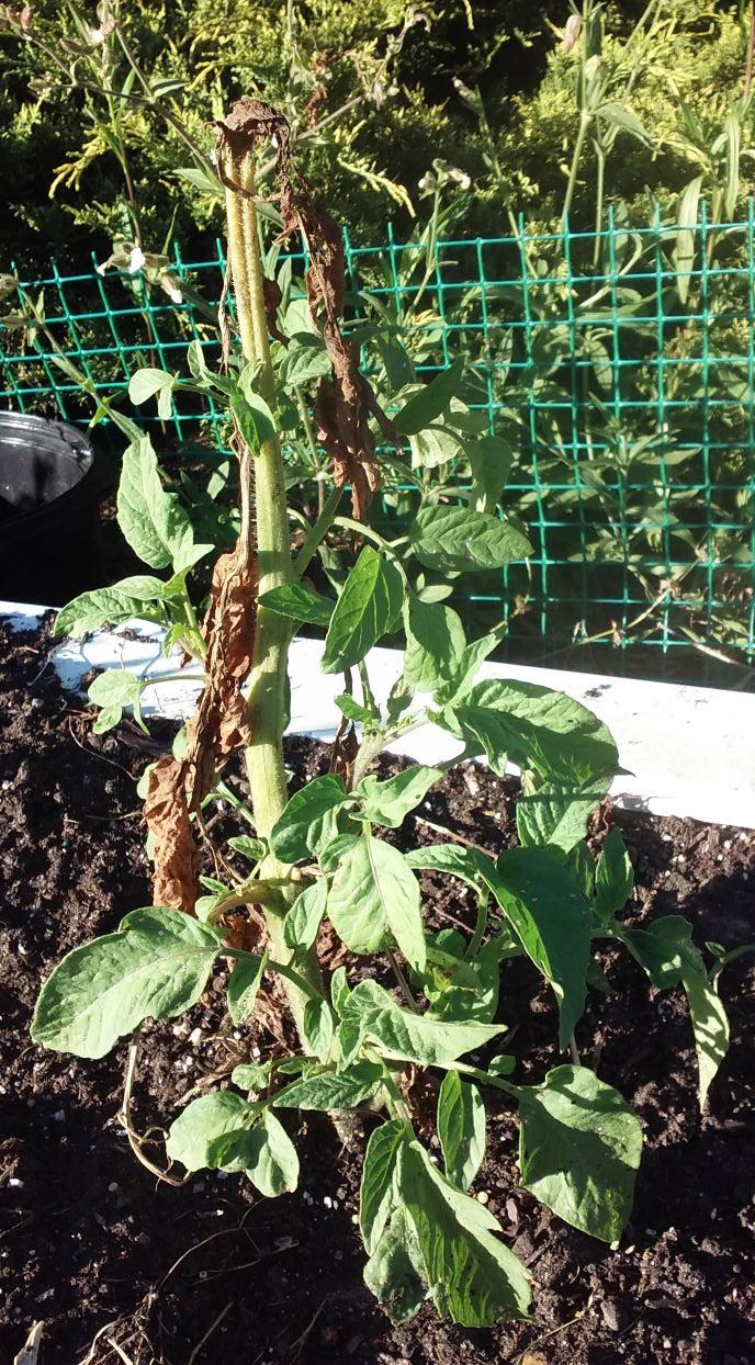resized survivor tomato 0621