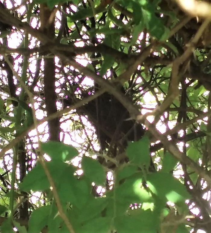 resized swamp rose birds nest 061821