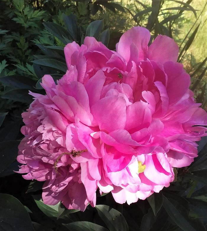 resized triple peony blossom 061421