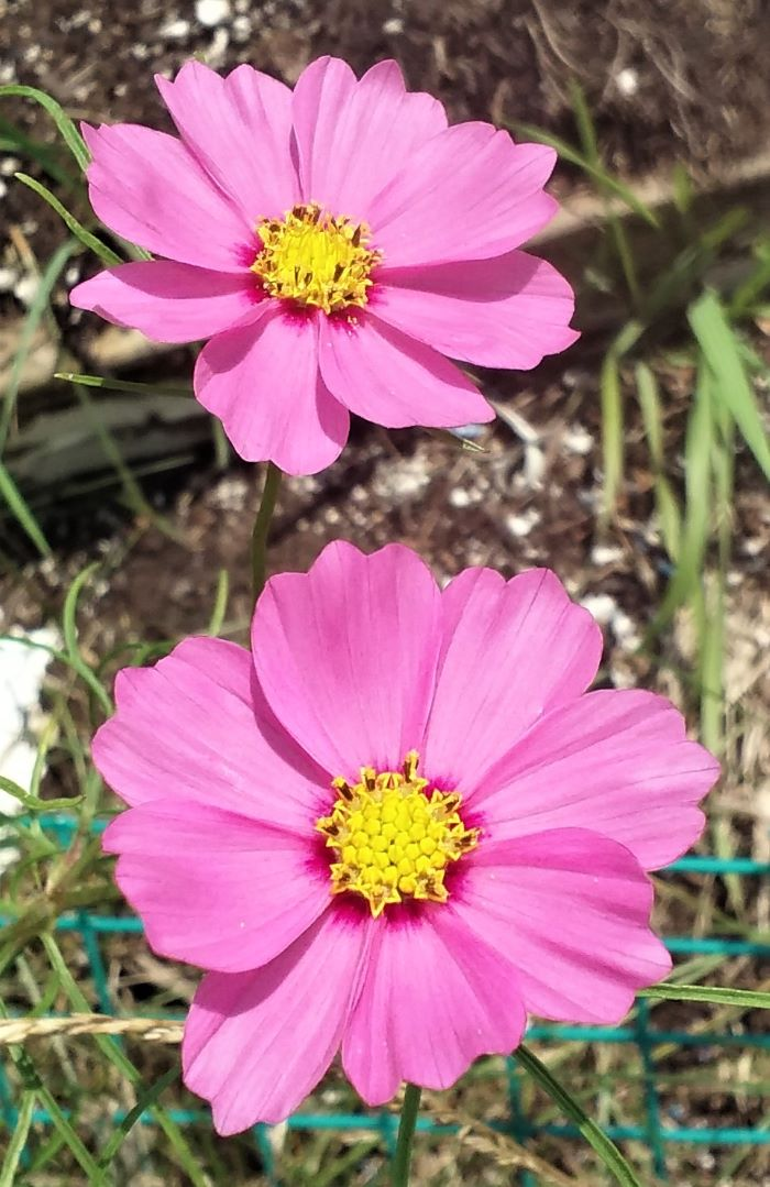 resized cosmos in bloom 070221