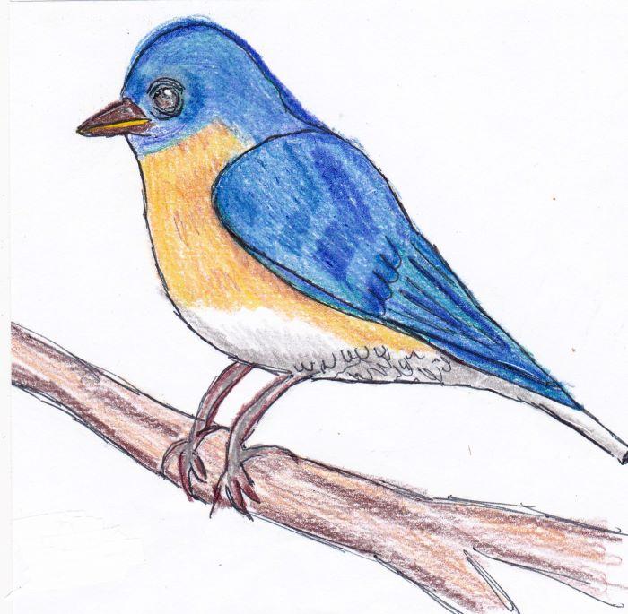 resized eastern bluebird male 070821